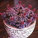 Crassula Bonsai Pietra Grezza Cactus Bonsai Esotici Bonsai Rare 100 PCS carnoso De Flores Bonsai Piccole Piante per Giardino: 2