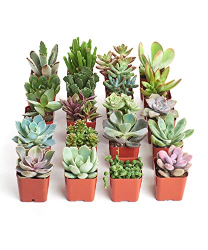 Shop Succulents | Unique Collection | Assortment of Hand Selected, Fully Rooted Live Indoor Succulent Plants, 20-Pack B