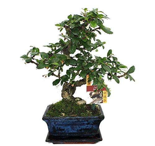 Bonsai Fukientee - Carmona microphylla - 6 years