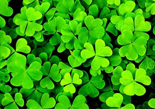 GETSO Samen-Paket Nicht Pflanzen: Clover h/DREI/Shamrock Trifolium Dubium