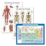3 Pack - Muscle + Skeleton + Periodic Table of The Elements for Kids Poster Set - Laminated - 18' x 27'