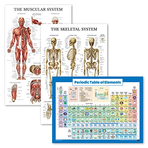 """3 Pack - Muscle + Skeleton + Periodic Table of The Elements for Kids Poster Set - Laminated - 18"""" x 27"""""""