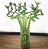 60 piezas Mini semillas de bambú de la suerte árbol naturaleza fresca trae buena suerte y riqueza...