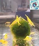 Topbilliger Tiere Yellow fire Garnele Neocaridina - 5X