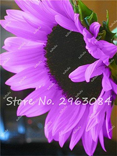 50 Pcs Graines de tournesol bio Helianthus annuus Graines de tournesol d'ornement Fleur Graine Fleur de jardin Facile à cultiver 20