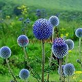 100pcs Blue Ball Distelsamen, Japan Distel, Bonsai Distelblume Echinops Ritro Chrysantheme für zu Hause Garten Bepflanzung