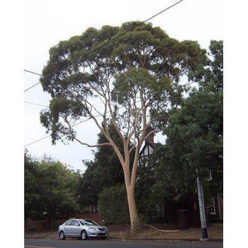 5 gommier citronné Graines - Eucalyptus citrodora