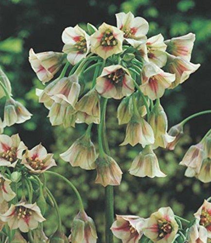 10 Allium Siculum Nectaroscordum Bulgarischer Lauch Blumenzwiebeln