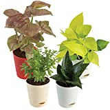 Material: Natural Live Plant in Self Watering Pot, Qty: 4 (Plant with Pot) Provide the rooms with a colourful leaf display. Easy to grow and most popular indoor plant. Symbolizes Great Friendship, Fortune & Prosperity Watering Schedule - Twice a week...