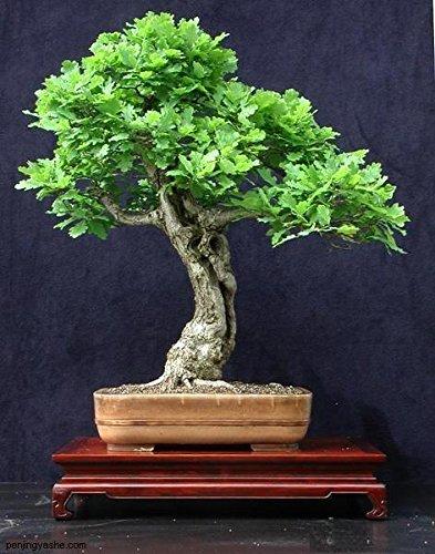 Pinkdose Vente chaude 5pcs Mini plantes en pot Chêne Arbre Bonsaï Quercus Alba Acorns pour le jardin de la maison de bricolage Livraison gratuite