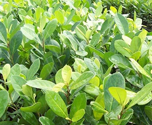 Yerba Mate-Pflanze, LIVE Topf, Ilex paraguariensis, Mate-Tee, chimarrão, Tereré