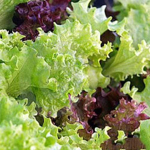500 pezzi semi di lattuga naturale multicolore verdure a foglia miste all'aperto all'interno giardino cimelio di semi di alta qualità non OGM