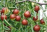 SD0519 Ziziphus Zizyphus Seeds, Rare Korean Dates Seeds, Jujube Seeds, Non-Genetically Modified Seeds (10 Seeds)