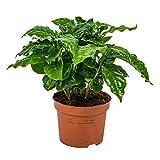 Kaffeepflanze   Coffea Arabica pro Stück - Zimmerpflanze im Aufzuchttopf cm12 cm - 25 cm