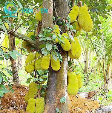 Pinkdose® Tropische Samen für Jackfruit Bonsai, 5 Stück