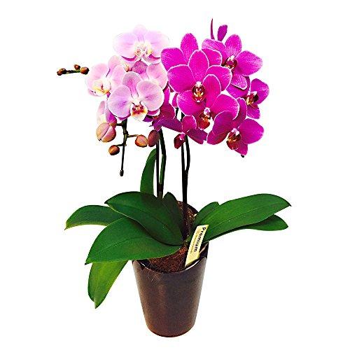 ミニ胡蝶蘭 飴色鉢 ミックス寄せ5号鉢植え 2本立て /お中元 ギフトに花のプレゼント 開店祝いに 母の日