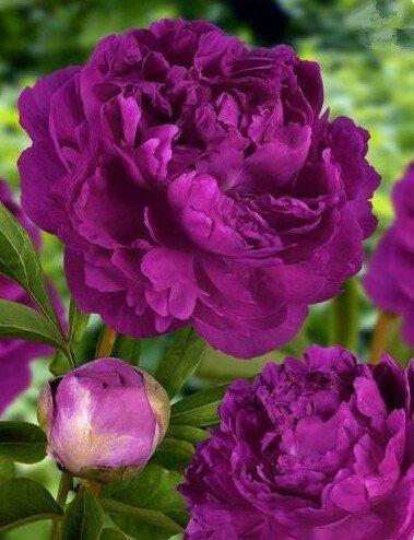 10pcs/sac de graines de pivoine, jaune, graines de fleurs de pivoine rose chinoise belles graines de bonsaï plantes en pot pour le jardin de la maison 7