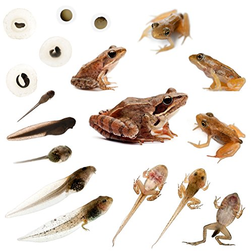 Nature Gift Store Tadpole to Frog Growing Kit with 1 Live Tadpole Sent with Kit