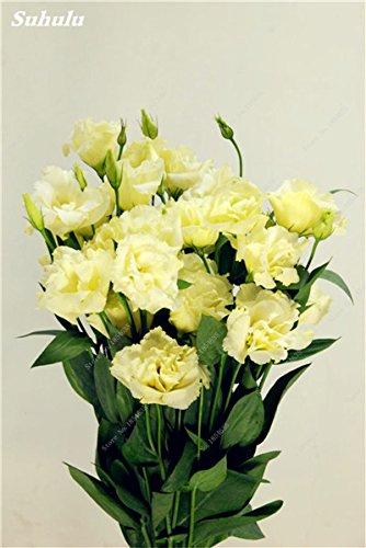 Eustoma Grandiflorum Bonsai Seeds 100 Pcs Lisianthus Graines de fleurs vivaces des plantes ornementales Sementes de flores Livraison gratuite 20
