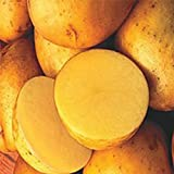 2 lb. SEED POTATOES - Yellow Finn - Organic - ORDER NOW for FALL PLANTING