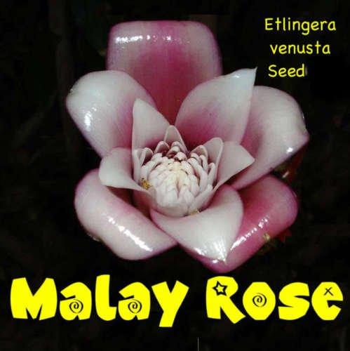 MALAISE ROSE ~ Etlingera venusta TORCH GINGER 100 graines spéciales RARE Collector