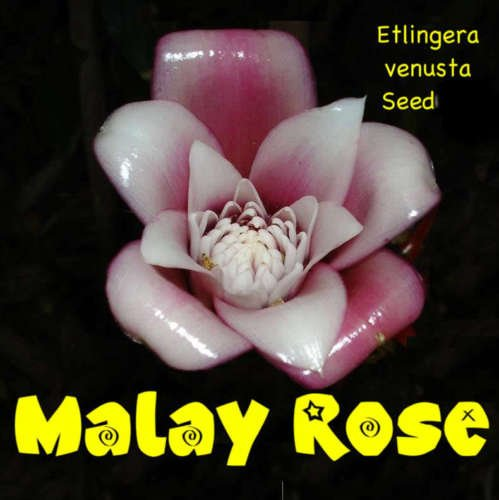 MALAISE ROSE ~ Etlingera venusta TORCH GINGER 100 graines spéciales RARE Collector