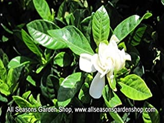 Gardenia jasminoides 'Frost Proof' gardenia, FOUR plants in 4 in container