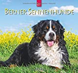 Berner Sennenhunde: Original Stürtz-Kalender 2020 - Mittelformat-Kalender 33 x 31 cm