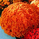 100 pcs/bag ground cover crisantemo semi facile da coltivare semi di fiore per i semi di giardino domestiche: 36100 16