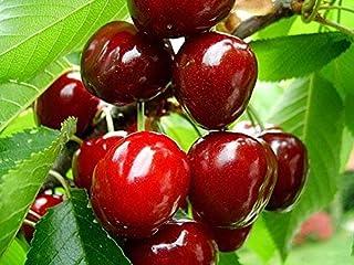 20 Süße Kirschbaum Samen. Prunus avium, Mazzard Kirschbaum