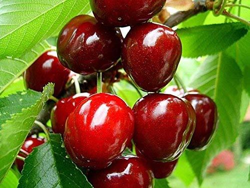 20 semillas de la cereza dulce árbol. Prunus avium, semillas Mazzard Cerezo fruto comestible