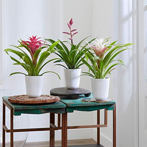 3x Tropische Indoor Zimmerpflanzen   Guzmania, Vriesea   3er Set Bromelien mit dekorativen Topf Ø 13,5cm   Höhe 40-50cm