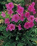 Gartengloxinie in rosa Incarvillea Delavayi Freilandgloxinie (Große Knollen) Blumenzwiebeln (5 Knollen)