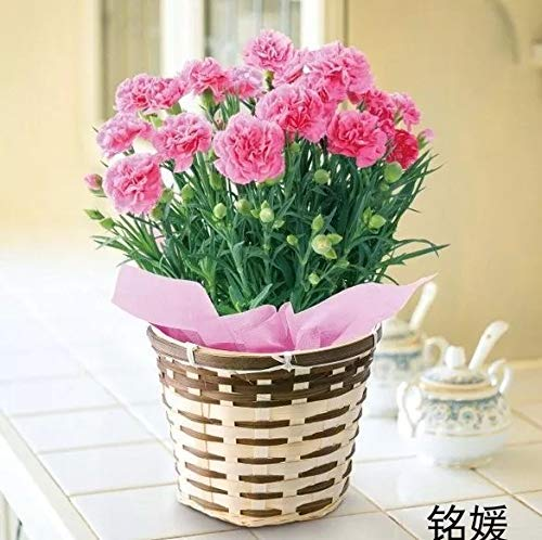 Garofano Picotee Mix Semi di fiori 30+ (Dianthus caryophyllus) Biologico Facile da coltivare per giardino bonsai Piantare All'aperto