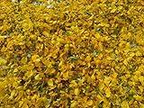 SPS MARKETING Avarampoo Senna Auriculata | Tanner's Cassia | Flower Avarampoo | Tarwar | Avartaki | Senna Flower | Avaram Poo | Avarm Senna | Tamgedu for Tea| Cassia Auriculata | Tangedi(100g)