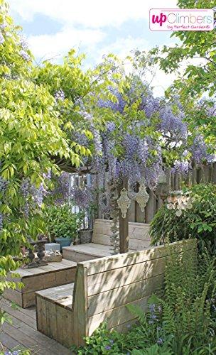 Winterharter Garten Blauregen, Japanischer Blauregen, (Wisteria sinensis), ca. 65cm hoch im 15cm Topf, (Blau, Sorte: Wisteria sinensis Prolific)