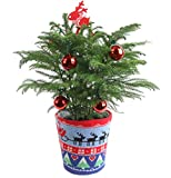Costa Farms Live Ugly Christmas Sweater Christmas Tree, 18 to 20-Inches Tall, Fresh From Our Farm