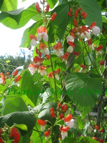 Premier Seeds Direct Painted Lady Feuerbohne beinhaltet 55 Samen