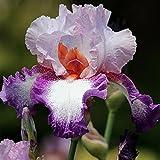 Balcón con plantas en macetas, flores ornamentales, hermosas flores cortadas. Apto para plantar en jardines interiores y exteriores.Tubérculo de iris.-5 Rizoma,2