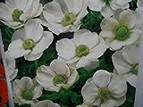10 WHITE ANEMONE BRIDE CORMS BULBS FOR BORDER PATIO ROCKERY GARDEN PERENNIAL PLANT