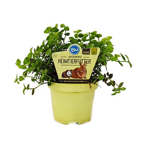 Futterpflanze für Heimtiere - Callisia repens - Vitalfutter für Kaninchen, Ziervögel, Reptilien, Hamster und Meerschweinchen