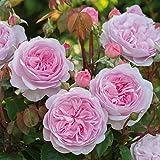 オリビア・ローズ・オースチン 6L鉢苗- Olivia Rose Austin(Ausmixture) バラ苗 ER イングリッシュローズ 薔薇 大苗