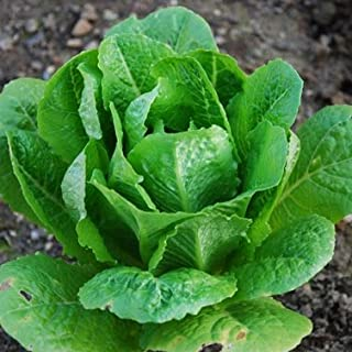 Lettuce Romaine Parris Island Cos ? Certified Organic Heirloom Seeds (200+ Seeds) ? by PowerGrow Systems