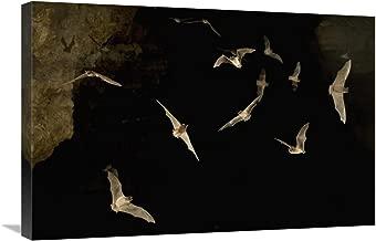 "Brazilian Free-tailed Bat group emerging from James Eckert River Bat Cave at dusk, Texas-Canvas Art-30""x20"""