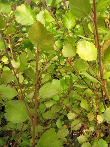 Betula nana Golden Treasure - Zwergbirke Golden Treasure