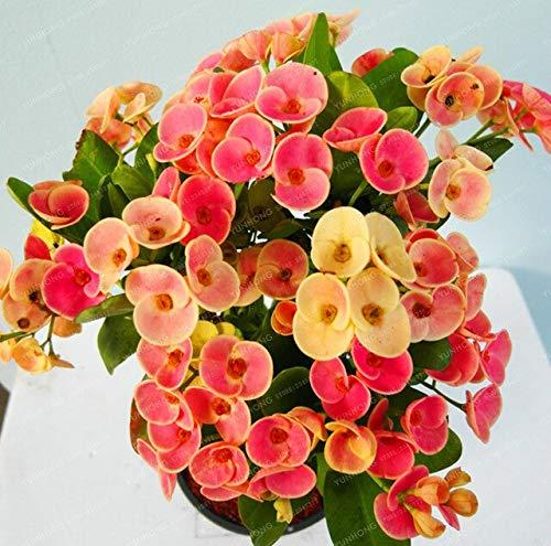 8: 100 Stücke Kaktus Euphorbia Milii Samen Neue Seltene Blumen Pflanzen Für Hausgarten Sehr Einfach Wachsen Hause Bonsai