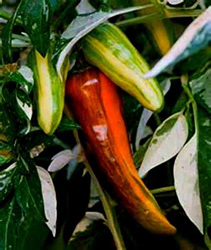 Seltene Veränderte Fisch Pepper Samen! Leckere Hot Veränderte Peppers & Pflanzen!