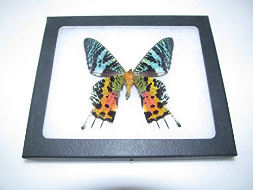 BicBugs Real Framed Butterfly Pink Orange Green Sunset Moth Urania RIPHEUS Madagascar