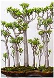 TROPICA-Bonsai-Malagasy-Affenbrotbaum (Adansonia...
