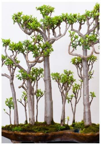 TROPICA-Bonsai-Malagasy-Affenbrotbaum (Adansonia grandidierii) - 4 Samen